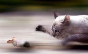 Mouse-vs-Cat-1680x1050